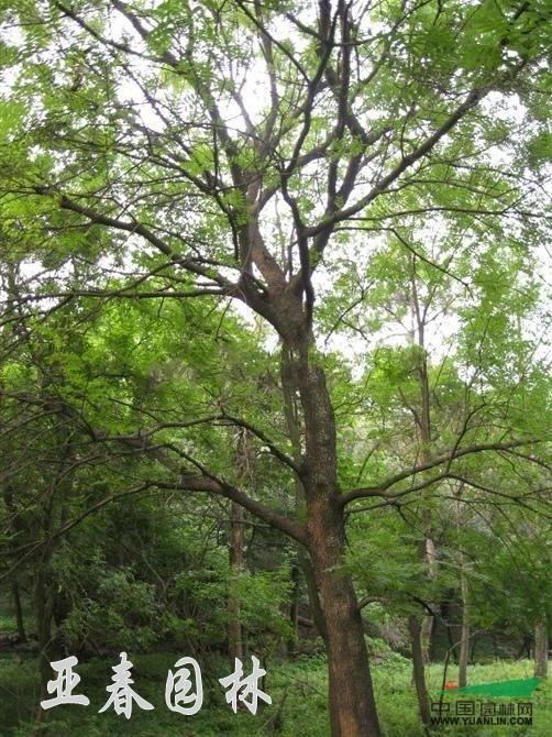 黄连木,黄连木鸡冠(净),别称:楷木,惜木,孔木,种子果洗机水图片