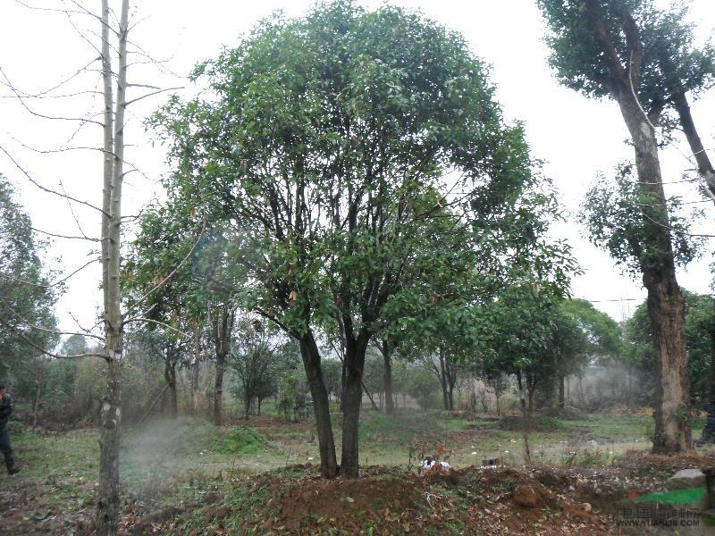国槐树 30公分 常年供应桂花树 大桂花树 桂花苗 各种规格桂花树 桂林