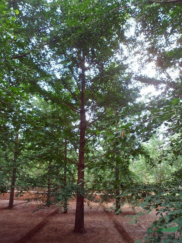 郯城中华银杏生态旅游区展示_康之园