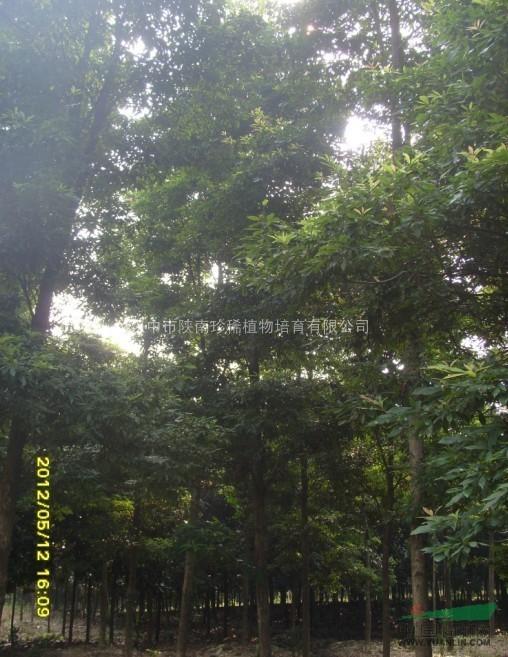 桢叶楠木,金丝楠木,楠木规格/价格