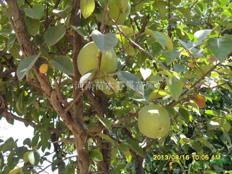 木瓜,榔榆,大树,盆景