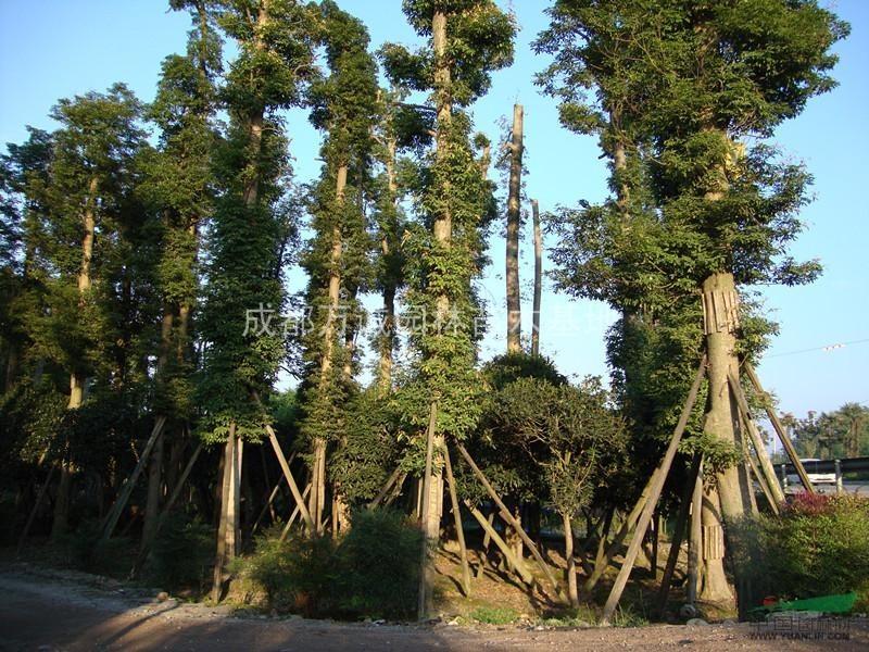 桢楠|金丝楠木|细叶子楠木|20公分以上熟货|四川成都