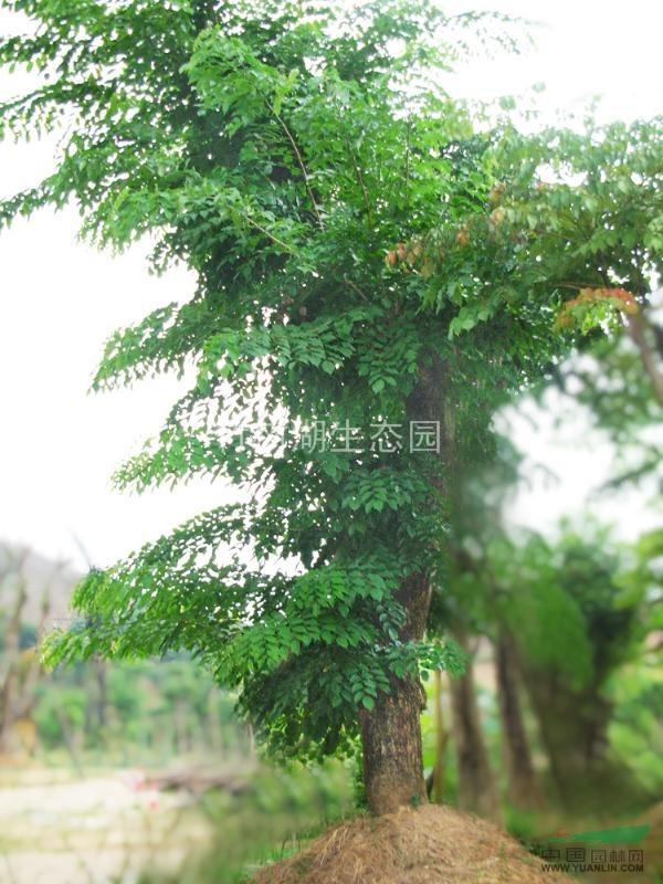 紫檀木树苗图片