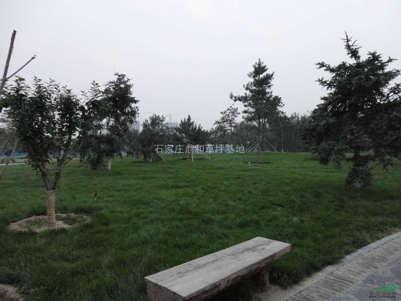石家庄草皮石家庄草坪草皮品种齐全 苗木供应 高清图片