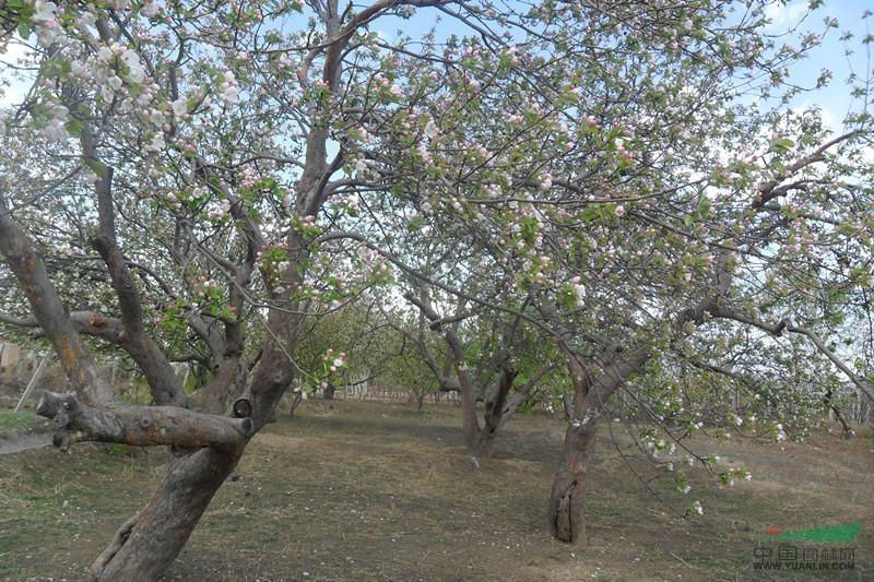 海棠树,八棱海棠树