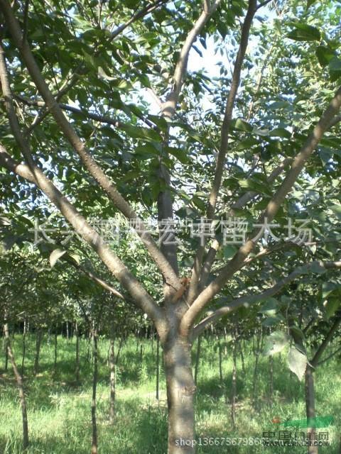 最新榉树价格_最新榉树价格供应