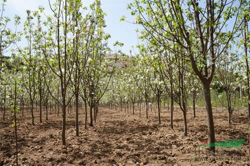 园林绿化用八棱海棠树