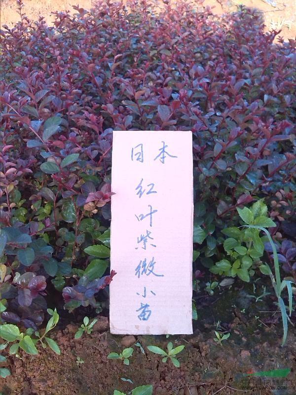 广西本叶紫薇最新报/本叶紫薇图