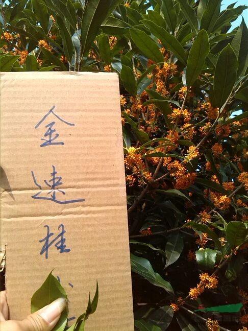 广西早丹桂3最新报/早丹桂3图