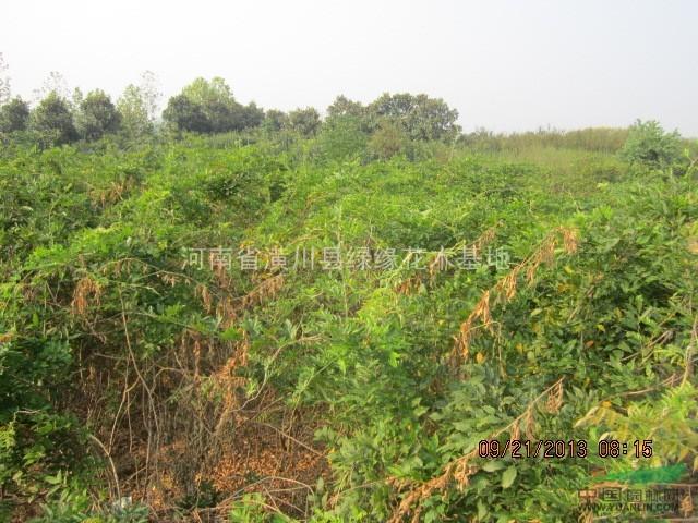 哪有紫藤盆景,河南卜集供应3公分紫藤,5公分紫藤,6公分紫藤图片