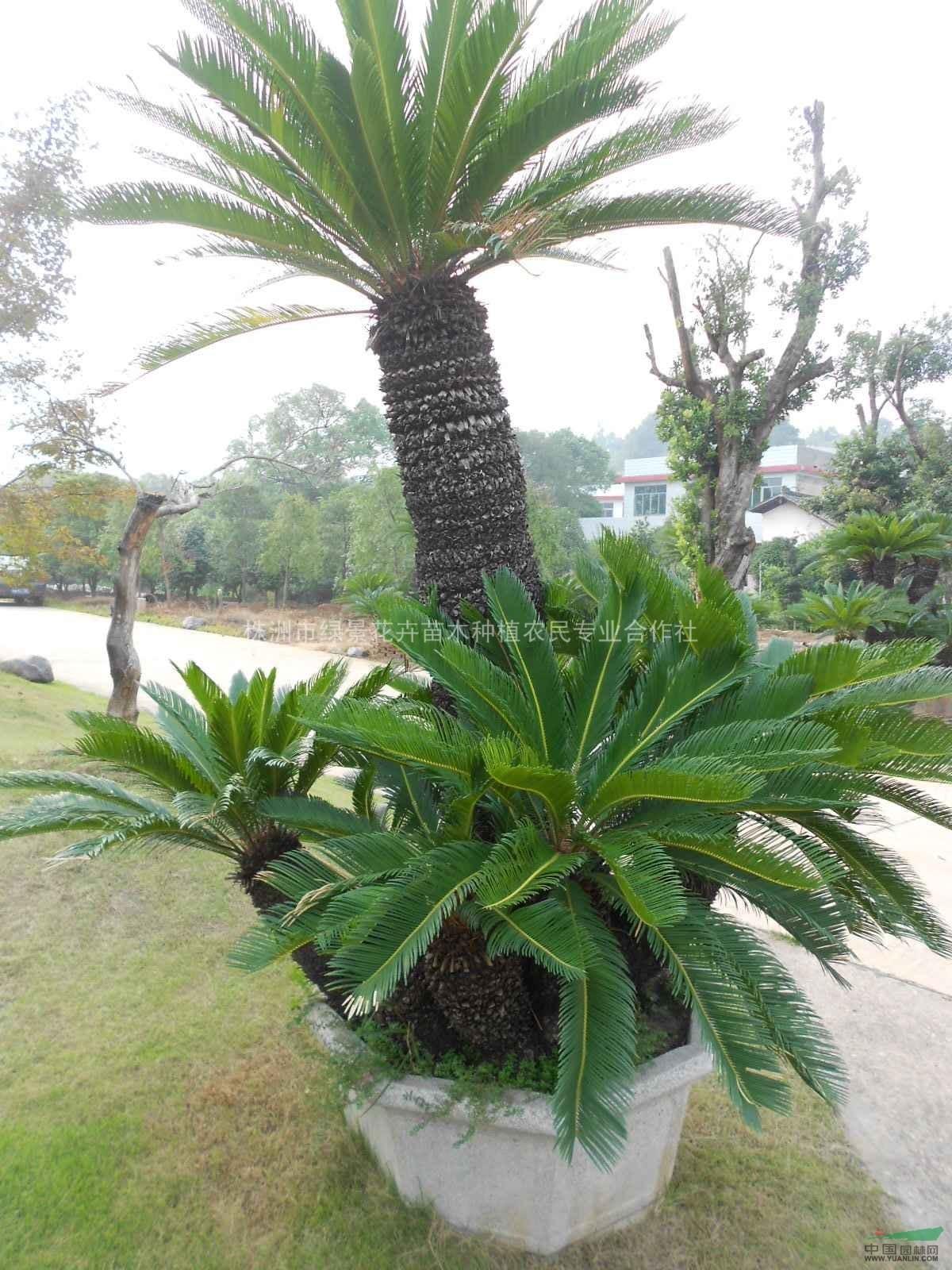 首页 绿化苗木频道 苗木供应 绿化苗木 棕榈类植物 铁树 湖南铁树  供