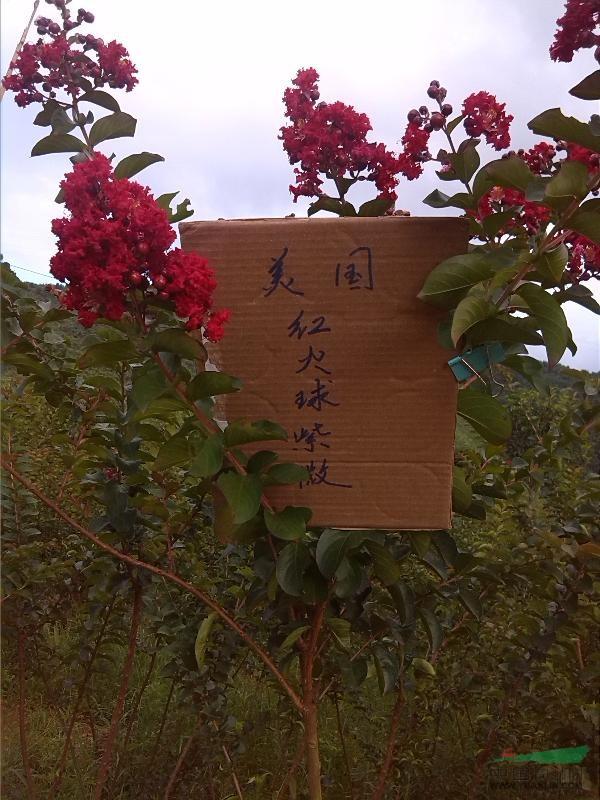 广西美火球紫薇1最新报/美火球紫薇1图