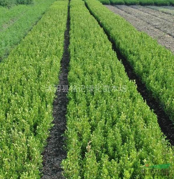 瓜子黄杨苗 小叶黄杨球 四季青苗木 工程绿化常用灌木