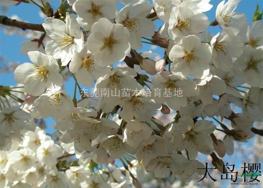 樱花树什么时候修剪