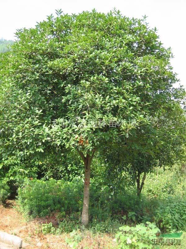 供应香樟,香樟树,樟树