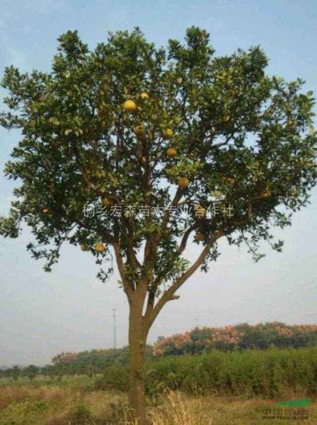 移栽柚子树