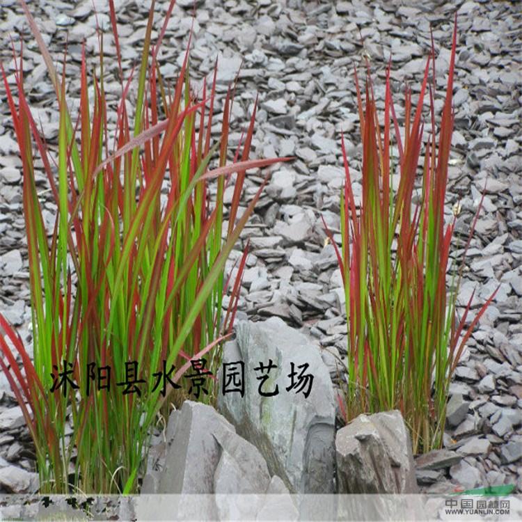 首页 绿化苗木频道 苗木供应 绿化苗木 地被植物 供应日本血草 水景承