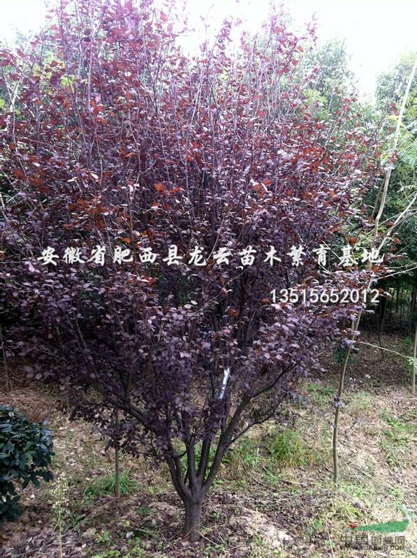 球灌木:海桐球,红叶石楠球,红花继木球,小叶女贞球(水蜡球)