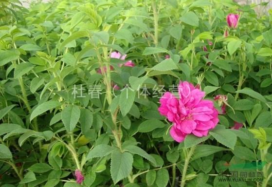 加工步骤如下:  ①摘下玫瑰花的花瓣,花蕊及花萼都不要,将玫瑰花瓣洗