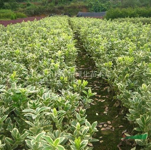 绿化苗木-金边黄杨-工程苗 绿篱色块用苗 小叶黄杨-大叶黄杨