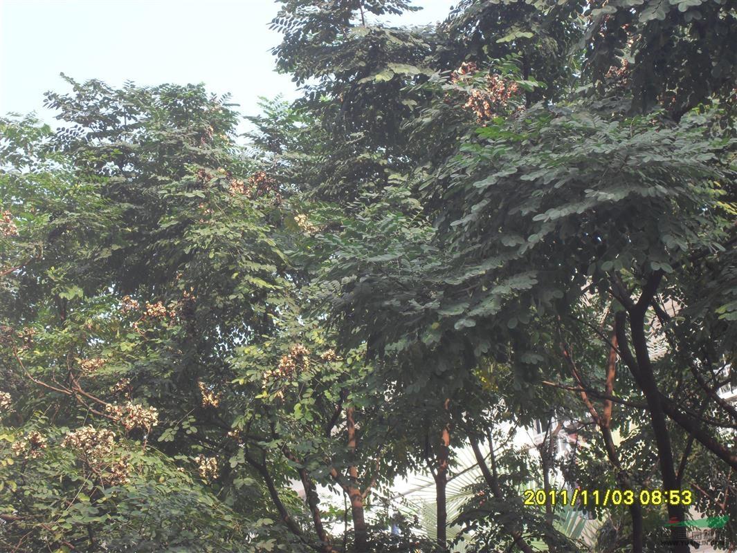海红豆树苗供应