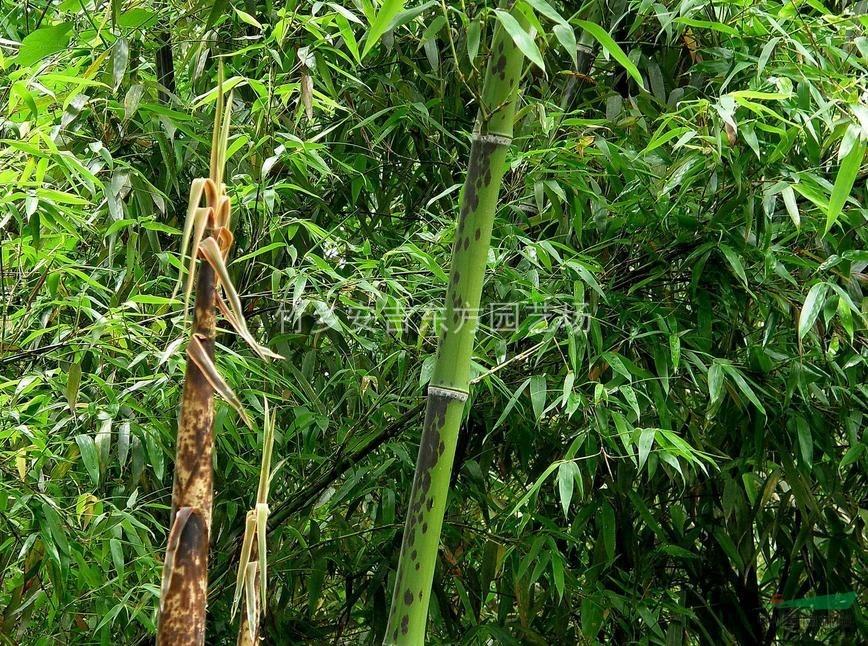 斑竹,斑竹供应,斑竹价格,斑竹图片