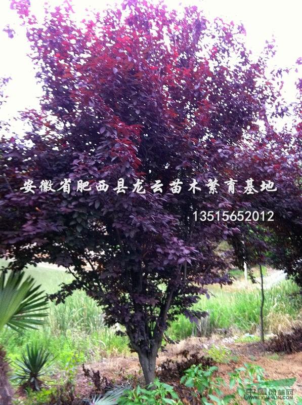 球灌木:海桐球,红叶石楠球,红花继木,小叶女贞球(水蜡球),大叶