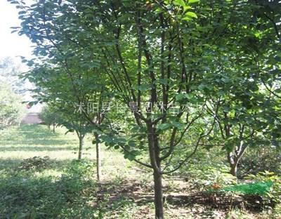 2公分木瓜树18元装车江苏沭阳产地供应
