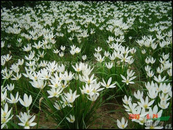 中华灯台树,金丝楸,四照花,黄山木兰,云山白兰,云锦杜鹃,连香树,红叶