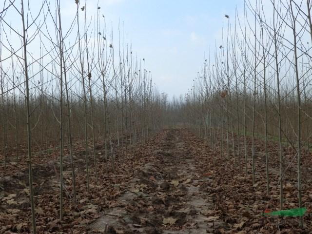 【苦楝】【十大功劳】【紫叶矮樱】【核桃树】等近百种乔灌木花灌木