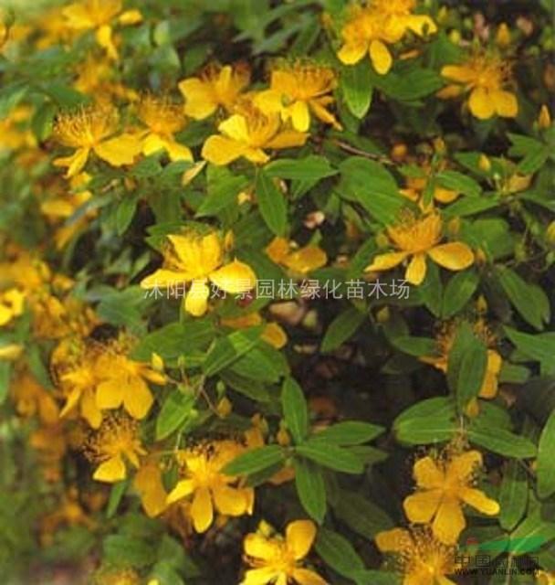花灌木类:平枝栒子