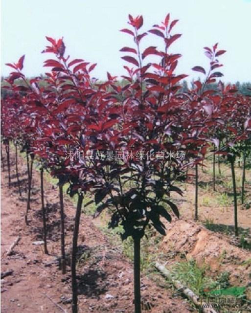 大樱桃树价格 大樱桃树的管理图片