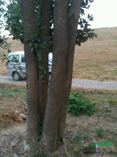 多干香樟_多干香樟供应_红旗苗木种植基地_中国园林网