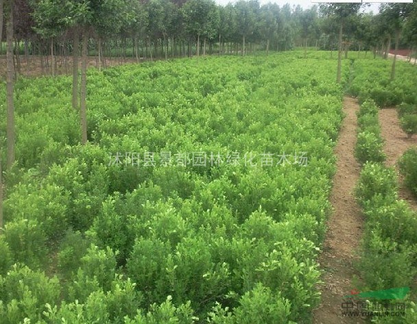 常绿园林苗木小叶黄杨球 瓜子黄杨球绿篱色块专用苗量