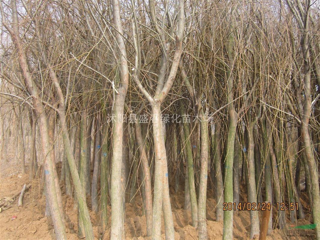 壁纸 风景 树 杨树 植物 桌面 1066_800