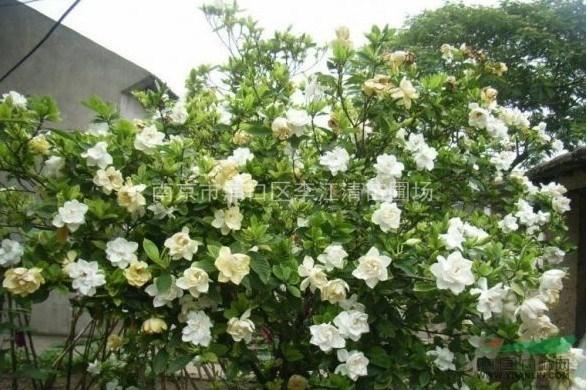 详细说明 栀子花又名栀子,黄栀子,为龙胆目,茜草科,栀子属的常绿灌木