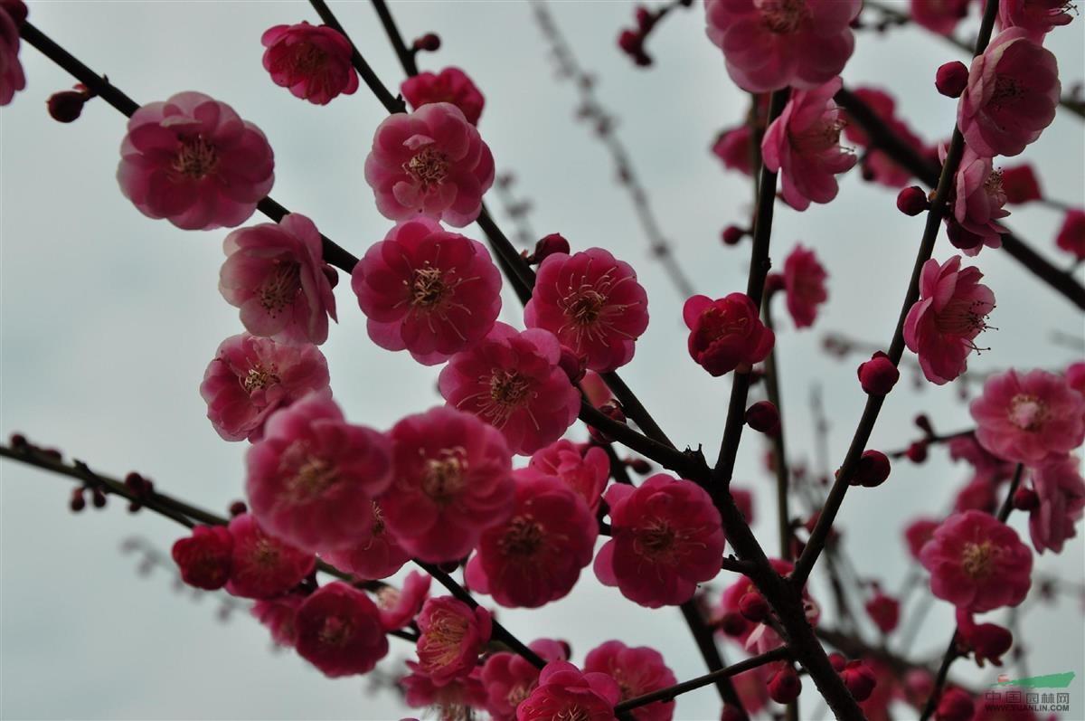 超轻粘土树枝梅花步骤图