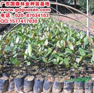 供应福木图片