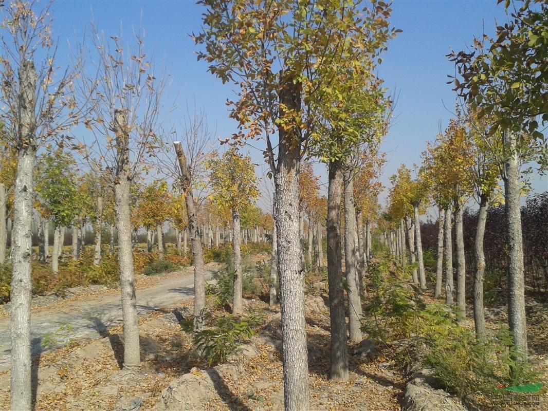 新疆景观植物乔木