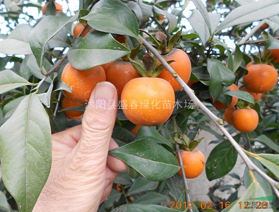 林木盆景种子 高档观果盆景金弹子种子