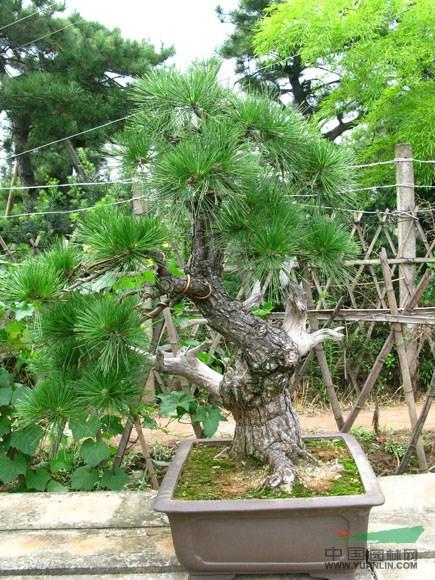 造型盆景2报价主要经营绿化苗木及盆景种植和销售