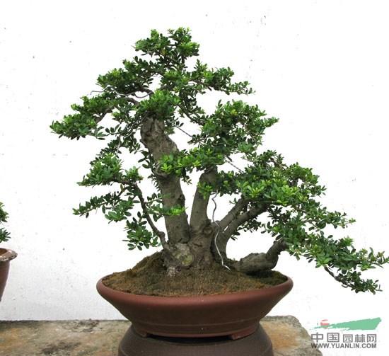 苗木供应 绿化苗木 乔木