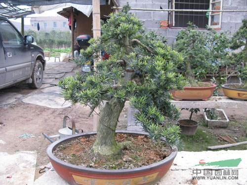 主要品种有桂花,茶梅,香樟,罗汉松,枸骨,茶花,红枫,龟甲冬青,竹柏