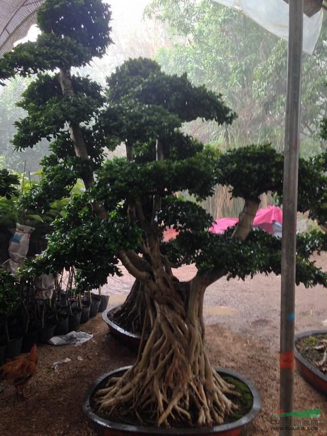 我苗木场常年供应各种乔灌木盆景棕榈科