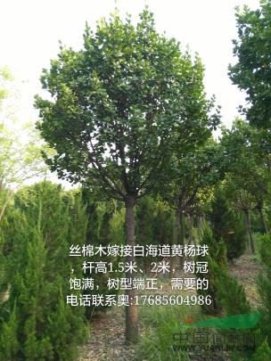 丝绵木嫁接北海道黄杨图片
