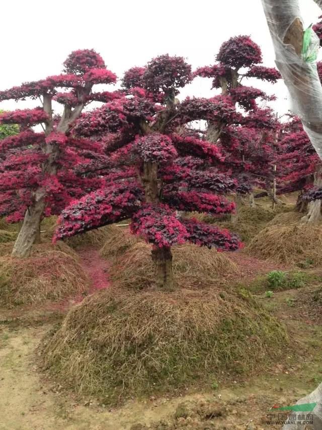 造型红花继木 红花继古木桩