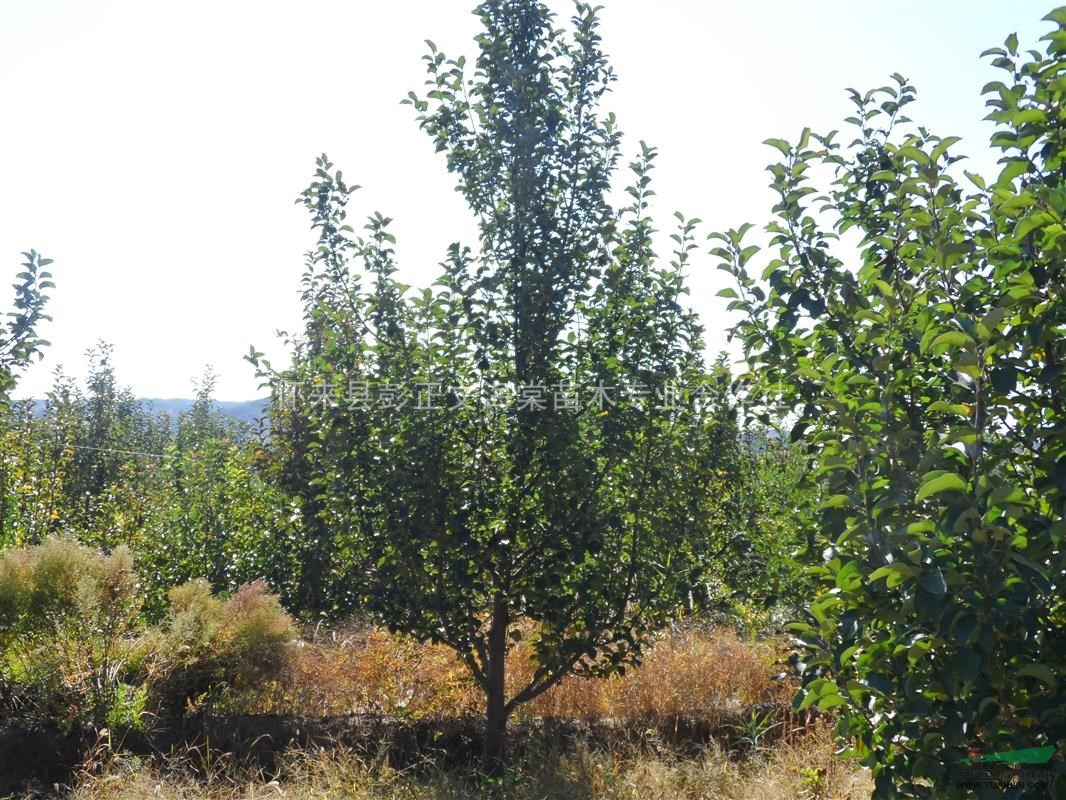 10cm金红海棠树