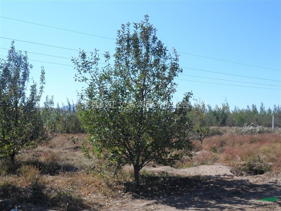 12cm金红海棠树