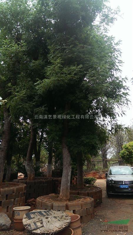 云南地区出售4-100公分黄连木新娘套装首饰珍珠图片