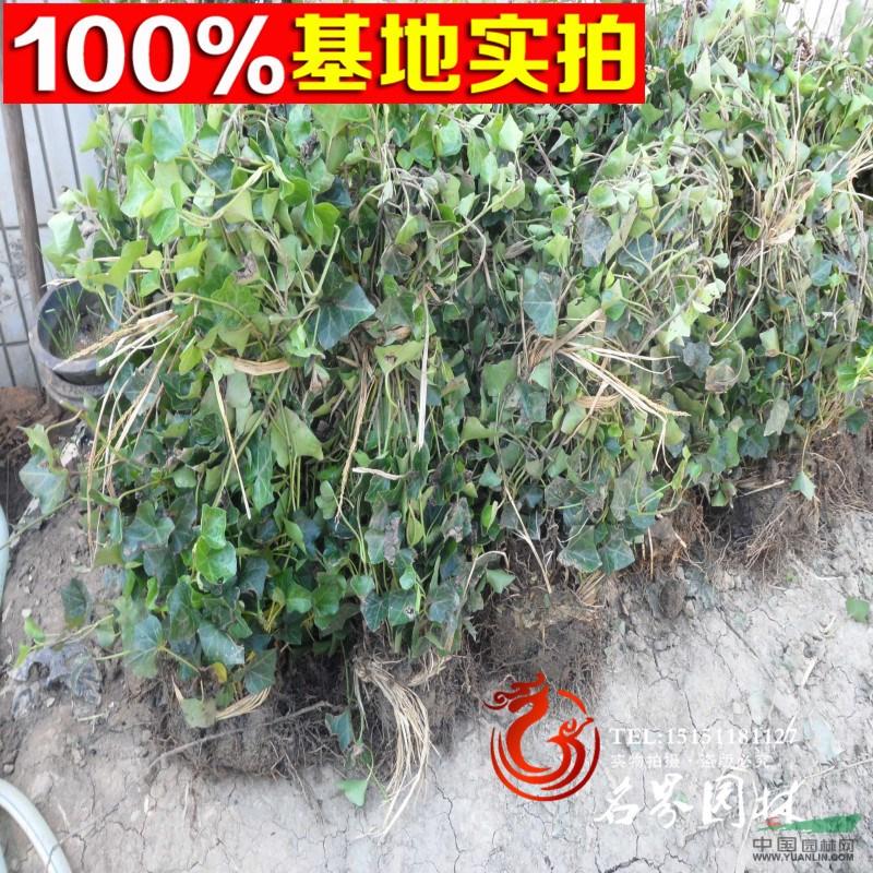 批发常青藤盆栽 攀援植物-常春藤 价格低 四季常青